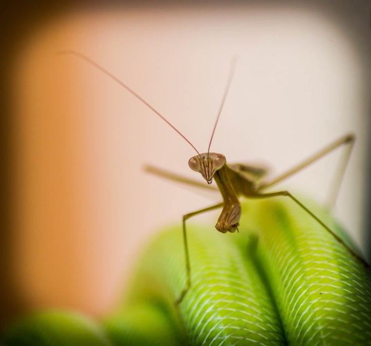Prying Mantis