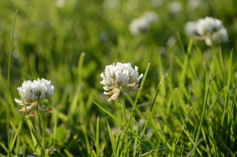 White Wild Flower1 (9)